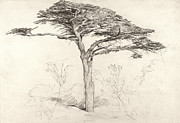 Samuel Drawings Framed Prints - Old Cedar Tree in Botanic Garden Chelsea Framed Print by Samuel Palmer