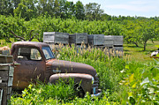 Peach Orchard Framed Prints - Old Chevy Pickup in Orchard Framed Print by Jeremy Evensen