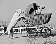 Tricks Photo Prints - Old Dogs Perform Old Tricks Print by Underwood Archives