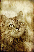 Parchment Framed Prints - Old fashion cat Framed Print by Raffaella Lunelli