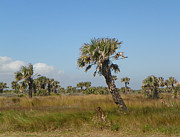 Patty Weeks - Old Florida Scrub On A1a