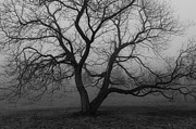 Rcnaturephotos Photos - Old Gnarly  BW 2 by Rachel Cohen