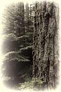Fir Trees Framed Prints - Old Growth Forest Framed Print by Randy Hall