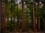 Prescott Photos - Old Growth Pines by Aaron Burrows