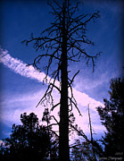 Prescott Posters - Old Growth Ponderosa and Condensation Trail Poster by Aaron Burrows