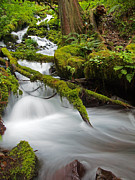 Old Growth Stream Print by Tim Moore