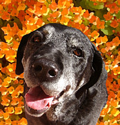 Dog Photo Digital Art - Old Labrador by Amy Vangsgard