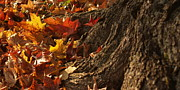 Backlit Leaf Prints - Old Maple Roots in Backlit Autumn Print by Anna Lisa Yoder