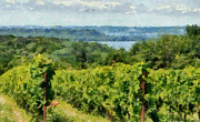 Landscapes Digital Art Prints - Old Mission Peninsula Vineyard Print by Michelle Calkins