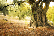 Olive Oil Prints - Old olive tree Print by Mythja  Photography