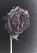 Stephen Cordory - Old purple rose