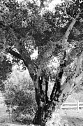 Black And White Photos Framed Prints - Old Tree Framed Print by Gilbert Artiaga