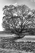 John S - Old Tree In Black And...
