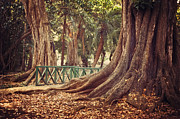 Beautiful Tree Photos - Old trees in Pamplemousse Garden. Mauritius by Jenny Rainbow