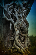Tree Roots Posters - Old Vine Poster by Mary Machare