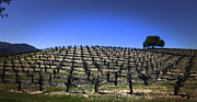 Old Vines Panorama Print by Karen Stephenson