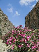 Patricia Hofmeester - Oleander bush in Greek gorge