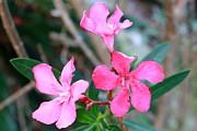 Dorothy Menera - Oleander