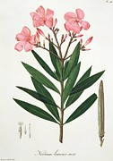 Oleanders Framed Prints - Oleander from Phytographie Medicale by Joseph Roques  Framed Print by L F J Hoquart