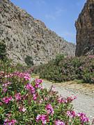 Patricia Hofmeester - Oleander in Cretan canyon
