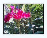 Wine Accessories Prints - Oleander Print by Janice Sakry