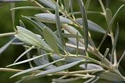 (olea Europaea) Photos - Olive branch by Maria Bedacht