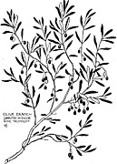 Olive  Drawings - Olive Branch Simplified in Decor by