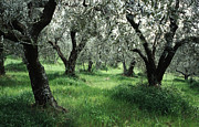 Green Color Art - Olive Grove by Heiko Koehrer-Wagner