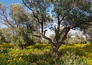 Olive Grove Framed Prints - Olive Grove in Spring-time Framed Print by Alex Cassels