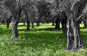 Italian Landscapes Prints - Olive Grove Italy CBW Print by Mike Nellums