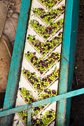 Feed Mill Framed Prints - Olive Mill Conveyor Belt Feed Framed Print by Stephan Pietzko