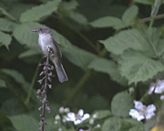 Flycatcher Originals - Olive Sided Flycatcher by Graham Foulkes