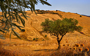 Olive Oil Photo Prints - Olive Tree Field Print by Mal Bray