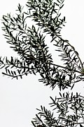 (olea Europaea) Photos - Olive tree silhouette by Maria Bedacht