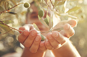 Olive Oil Prints - Olives harvest Print by Mythja  Photography