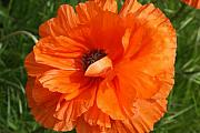 Organe Prints - Olympia Orange Poppy Print by Christiane Schulze