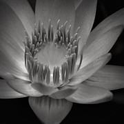 Flora Posters Prints - Om Mani Padme Hum Hail to the Jewel in the Lotus Print by Sharon Mau