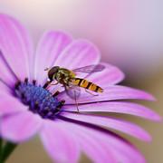 HJBH Photography - On a daisy