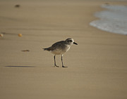Shore Birds Photos - On a Mission 2 by Ernie Echols