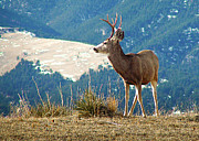 Mule Deer Buck Photograph Photos - On Alert for Trouble by Michael Chatt