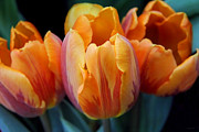 Orange Florals Posters - On Fire Orange Tulip Flowers Poster by Jennie Marie Schell
