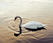 Swans... Prints - On golden pond Print by Sharon Lisa Clarke