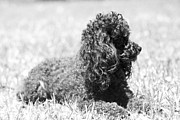 Dog Photographs Photos - On Guard Poodle by Ester  Rogers