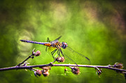 Dragon Flies Posters - On Lookout Poster by Marvin Spates