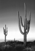 Saguaro Framed Prints - On the Border Framed Print by Mike McGlothlen