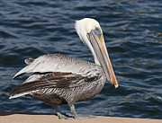 On The Edge - Brown Pelican Print by Kim Hojnacki