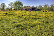 Jason Politte Prints - On the Farm - Yellow Pastures and Cows Print by Jason Politte