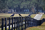 Murder Of Crows Posters - On the Fence - Florida Poster by Mary Machare