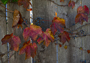 Grape Leaves Photos - On the Fence by Rob Goodwin