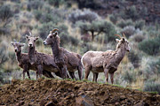 Bighorn Photos - On the Ledge by Mike  Dawson